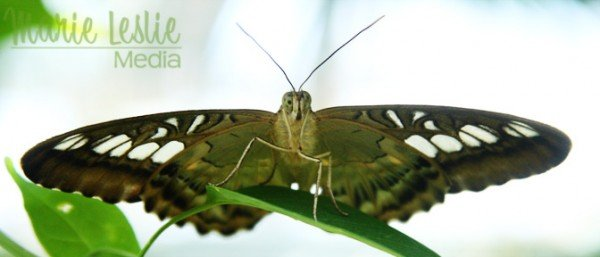 green and white butterfly, colorado photographer