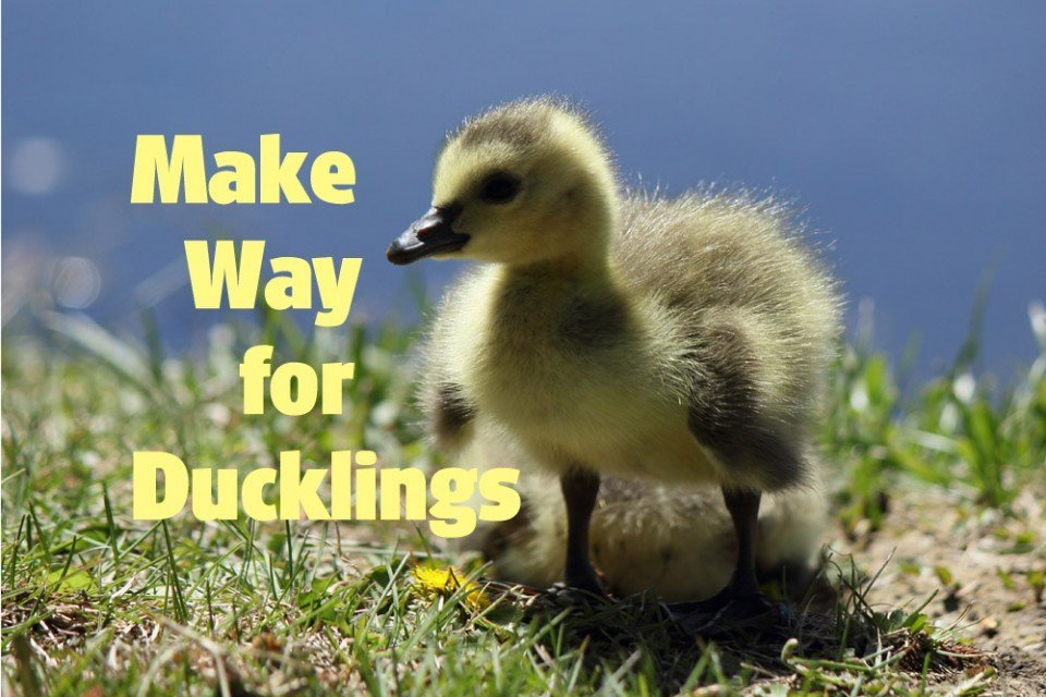 Make Way for Ducklings! — Wildlife Photography