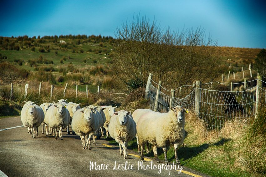 Sheep along the Ring of Kerry
